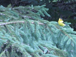 Yellow bird on our PEI land
